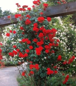 роза Sympathie