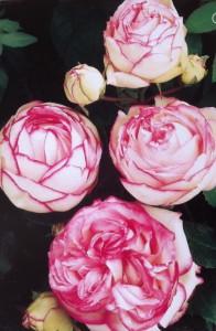 роза патио Biedermeier