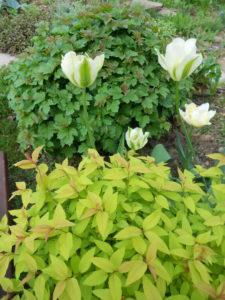 тюльпан зеленоцветный Pistache