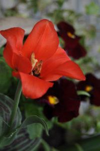 тюльпаны Red riding hood