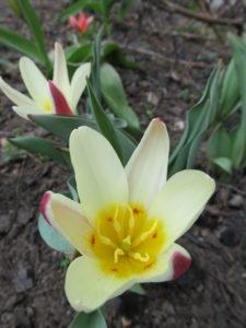 тюльпан ботанический Tarda