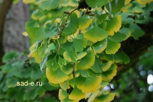 Гинкго билоба дерево выращивание в подмосковье 11