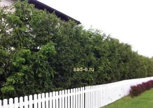 Изгородь из ели