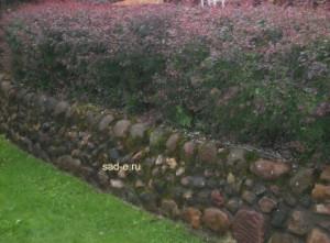 Изгородь из стриженного барбариса
