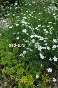 Гвоздика травянка Alba