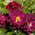 """Роза""""Adam's Rose"""""""