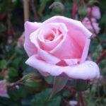 "Роза""Blossomtime"""