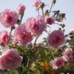 """Роза""""Bonika'82"""""""
