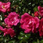 """Роза""""Heidetraum"""""""