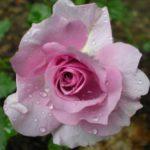 "Роза""Lilas Rose"""