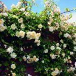 "Роза""Malvern Hills"""