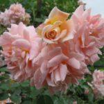 """Роза""""Morgengruss"""""""