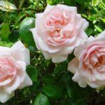 """Роза""""New Dawn"""""""