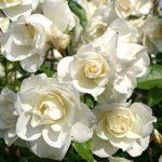 """Роза""""Schneewittchen"""""""