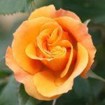 """Роза""""Tequla"""""""