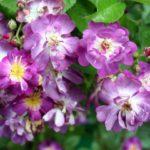 """Роза""""Veilchenblau"""""""