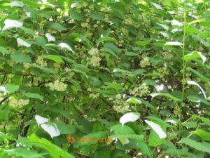 цветки актинидии полигама