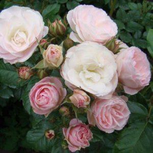 """роза """"Bouquet Parfait"""", Lens"""
