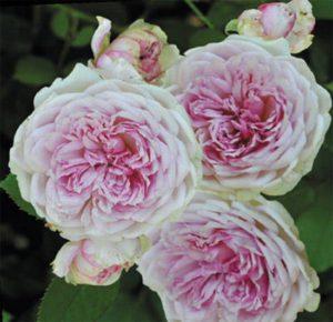 "роза ""Orsola Spinola"" Guillotи Massad"