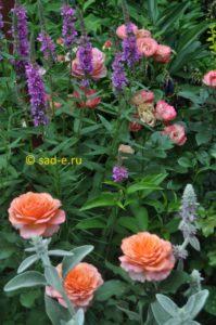 Дербенник с розами