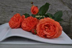 розы романтика