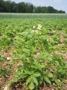 Картофель на поле