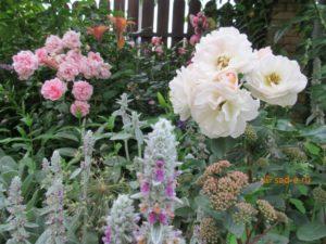 Чистец шерстистый с розами