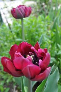 тюльпаны Antraciet