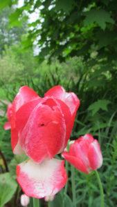 тюльпаны Upstar