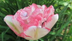 тюльпан махровый поздний Cherry Vanilla