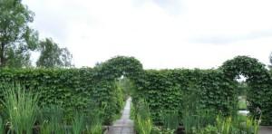 арка из девичьего винограда