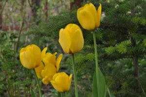 тюльпаны Golden Apeldoorn