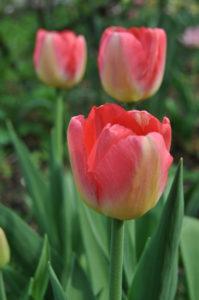 тюльпан Judith Leyster