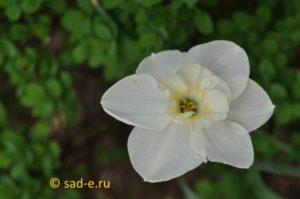 нарцисс орхидный Papillon Blanc