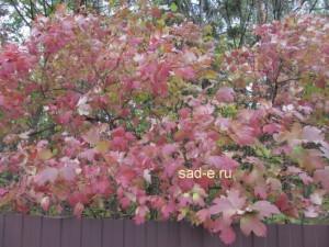 Окраска листьев калины осенью