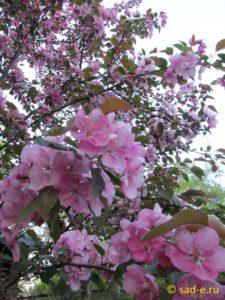цветки декоративной яблони