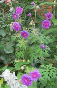 "Герань луговая ""Plenum Violaceum"""