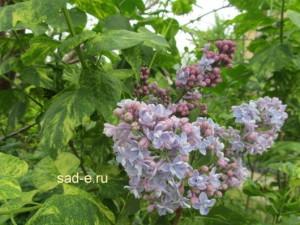 """Сорт""""Aucubaefolia"""" (Аукубафолия)"""