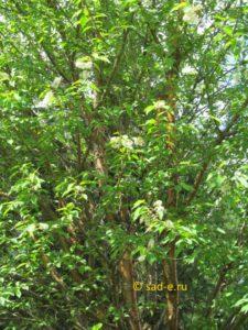 черемуха Маака в цвету