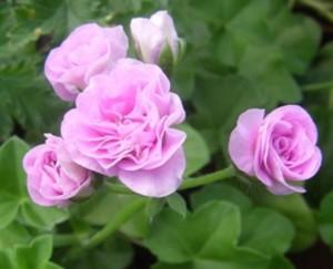 Плющелистная пеларгония Lilac Rose
