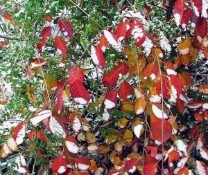 Окраска листвы ирги осенью