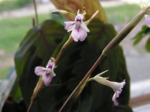 цветки маранты