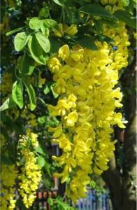 Цветы бобовника