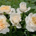 Lion-Rose