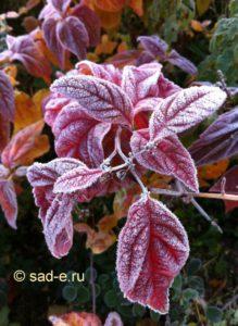 """Спирея """"Macrophylla"""" первые морозы"""