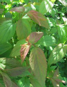 """Спирея сорт """"Macrophylla"""""""