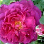 """Роза""""Chianti"""""""