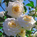 """Роза""""Clos Fleuri blanc"""""""