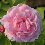 """Роза""""Domain de Courson"""""""