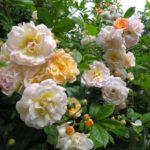 "Роза""Ghislaine de Feligonde"""